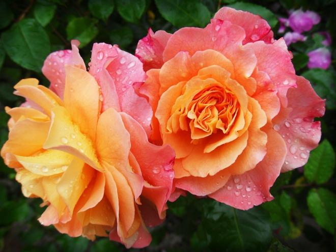 rose-174817_1920
